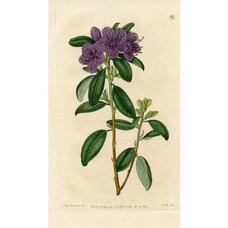 Siberian Rhododendron, Botanical Print