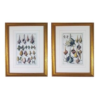Niccolò Gualtieri Framed Copperplate Engravings of Sea Shells - a Pair