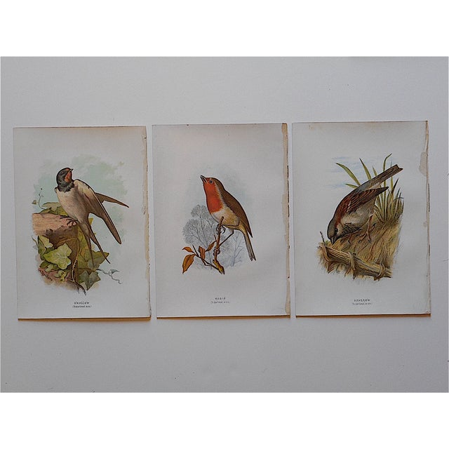 Image of Antique Bird Lithographs - Set of 3