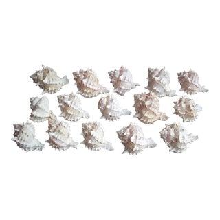 Natural Murex Seashells - Set of 15