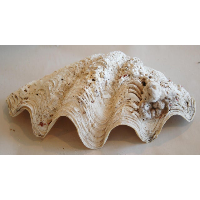 Antique Nautical Seashells Clamshells - Set of 3 - Image 9 of 10