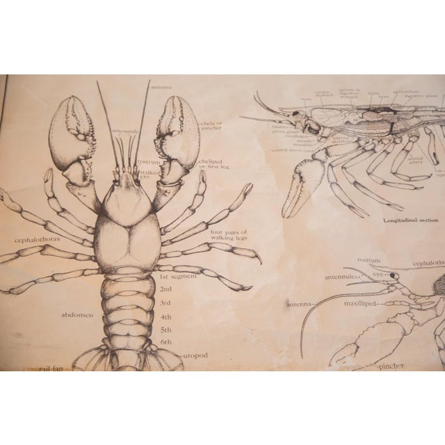 Early 20th Century Pull Down Chart of Lobster - Image 2 of 8
