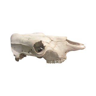 Authentic Texan Cow Skull