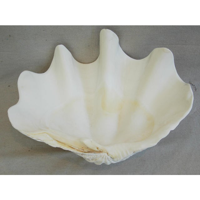 Image of Large Antique Nautical Saltwater Clamshell