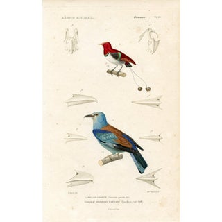 1850 Australian Paradise Birds Print