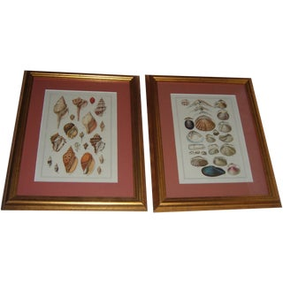 Framed Shell Prints - A Pair