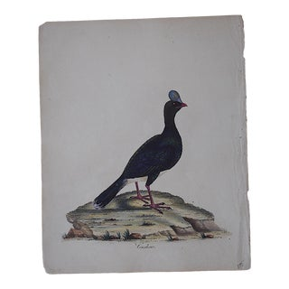 George Edwards 18th Century Bird Engraving