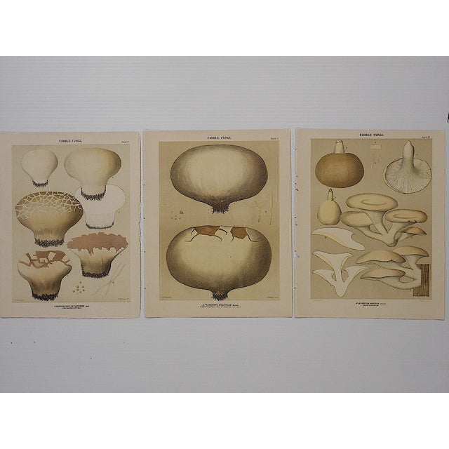 Antique Mushroom Lithographs- Set of 3 - Image 2 of 5