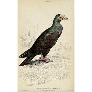 Antique Turkish Pigeon Engraving