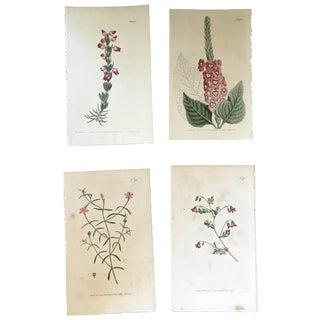 19th Century Botanical Prints - Set of 4