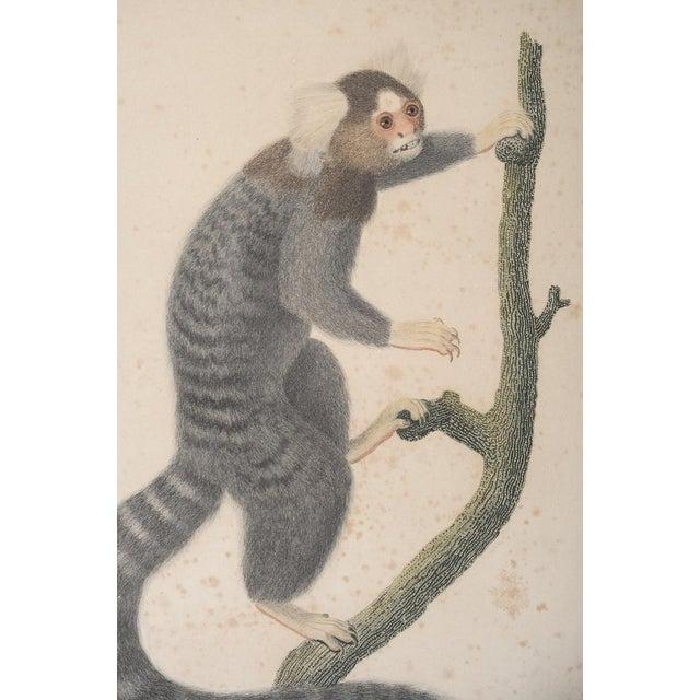 Jean Baptiste Audebert 18th C. Print of a Monkey - Image 6 of 6