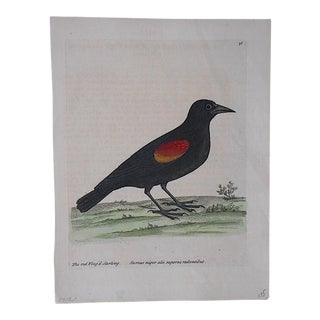 George Edwards 18th Century Bird Engraving