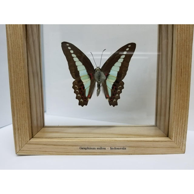 Indonesian Framed Swallowtail Butterfly - Image 5 of 5