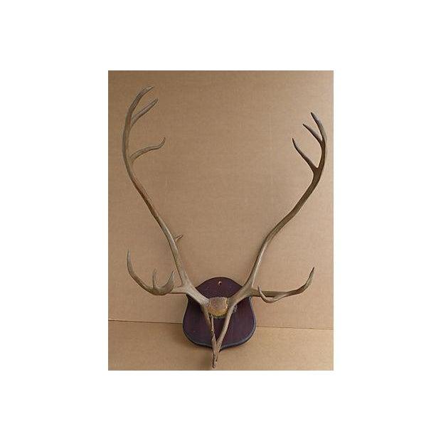 Wall Mounted Taxidermy Elk Antlers - Image 2 of 8