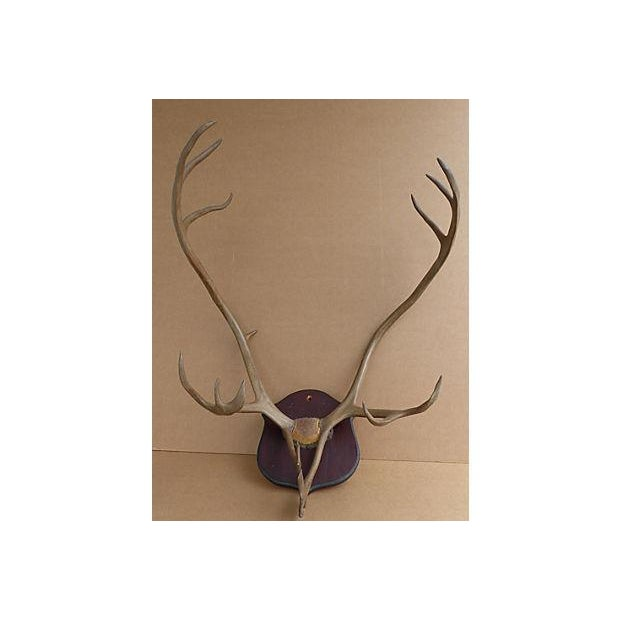 Image of Wall Mounted Taxidermy Elk Antlers
