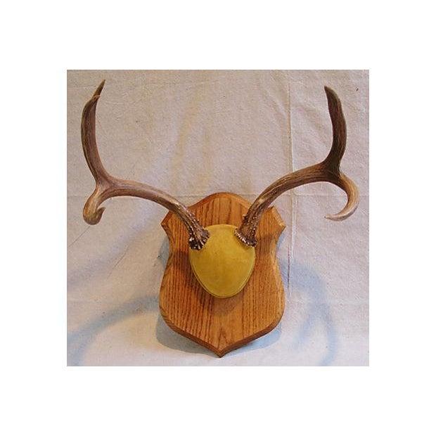 Image of Mounted Trophy Deer Antlers on Wood Shield