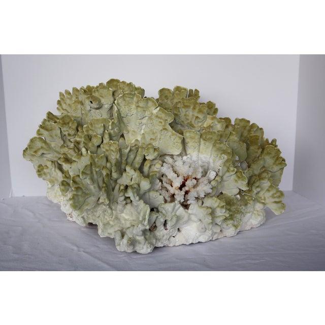 Massive Fire Coral Specimen | Chairish