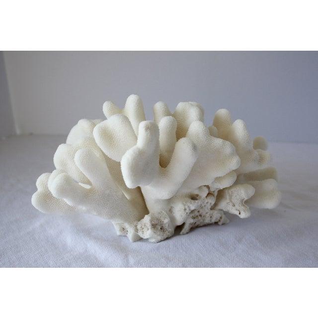 Image of Natural Elkhorn Coral Fragment