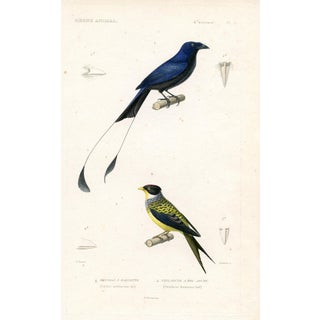 Natural History Print - Mockingbird of India 1850