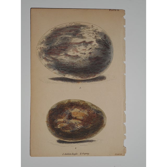 Image of Antique Eagle/Osprey Eggs Period Color Engraving