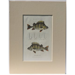 Pearch Fish & Hooks Print
