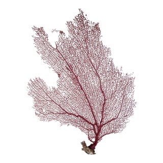 Natural Pink & Yellow Bahamian Sea Fan