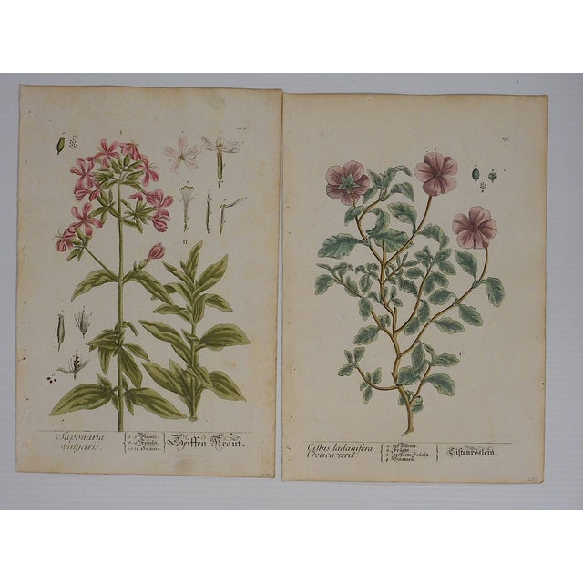 18th C. Botanical Engravings Folio Size- Set of 2 - Image 2 of 5