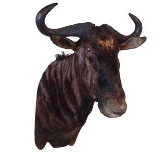 Vintage Blue Wildebeest Taxidermy Mount