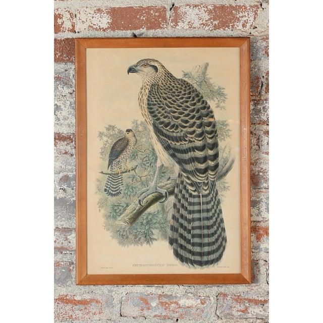 "John Gould ""Erythrotriorchis Dorlae"" Bird Lithograph - Image 2 of 7"