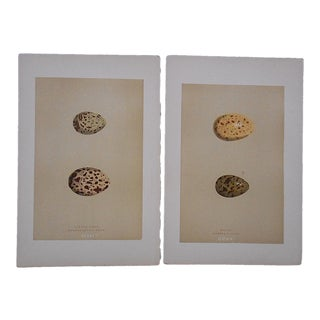 Antique Egg Lithographs-Set of 2-Seagull Eggs