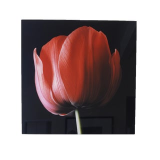 """Red Tulip on Black"" Photograph"