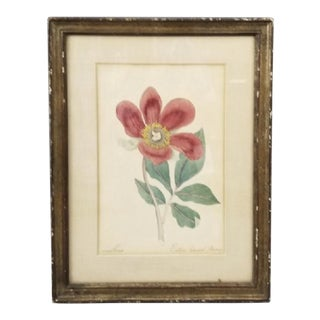 19th Century Hand Painted Wild Peony Botanical Watercolor Painting