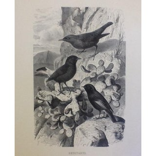 "Antique ""Redstarts"" Engraving by Gustav Mutzel"