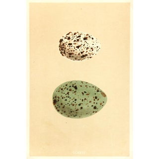 Antique Lithograph - Speckled Eggs, 1859