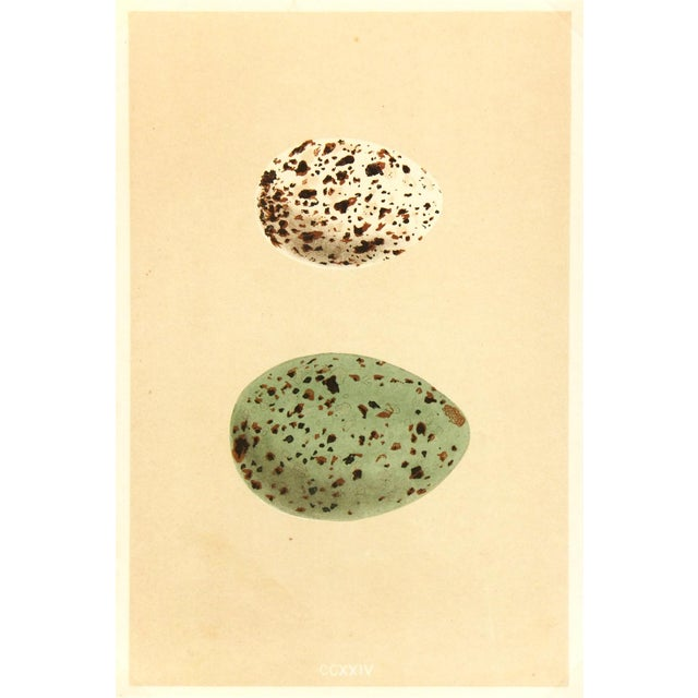 Antique Lithograph - Speckled Eggs, 1859 - Image 1 of 3