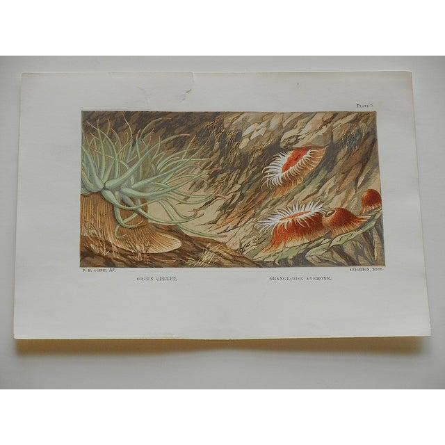 Antique Sea Creature Lithograph - Image 2 of 3