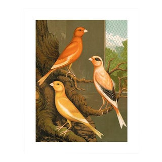 Antique '3 Orange Canaries' Archival Print