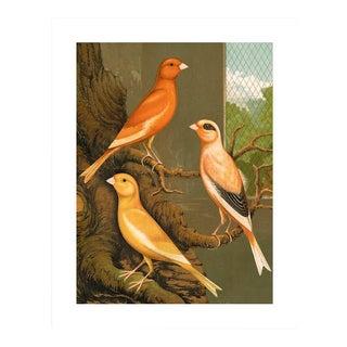 Antique '3 Orange Canaries' Archival Print