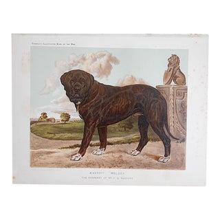 """Antique Dog Lithograph """"Mastiff"""""""