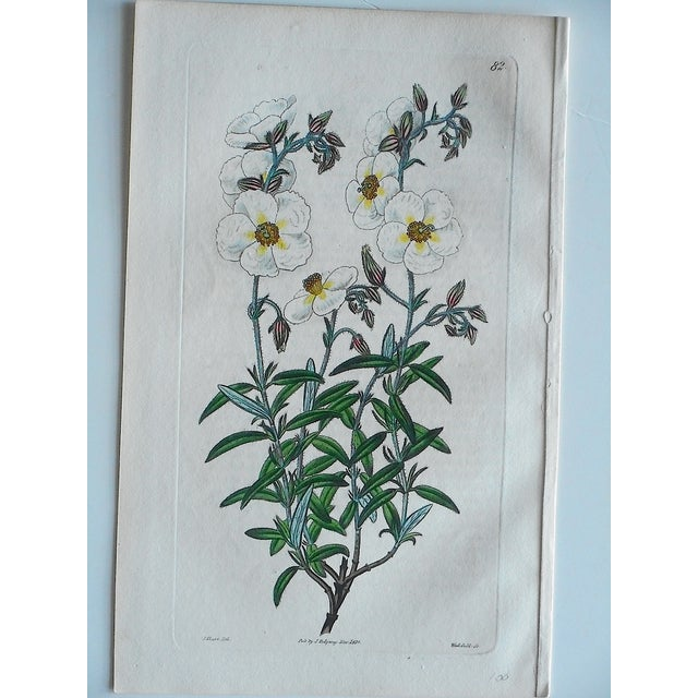 Antique Botanical Engravings - Set of 3 - Image 6 of 6