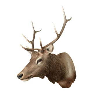 Taxidermy Elk Wall Mount