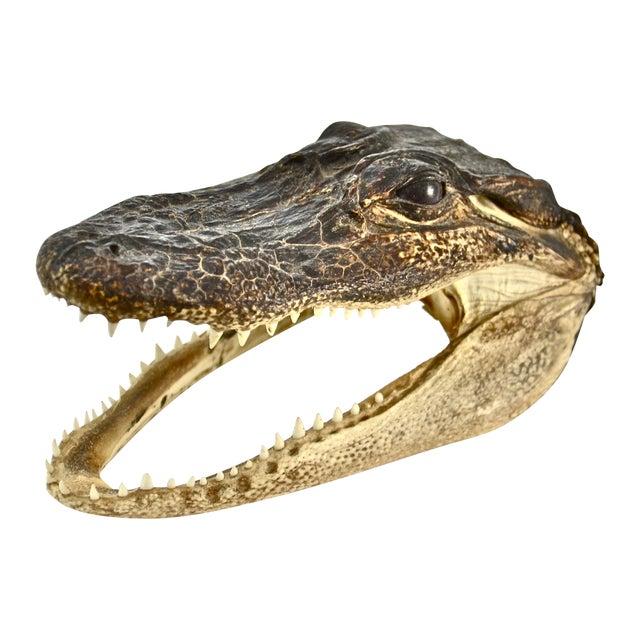 Image of Taxidermy Alligator Head