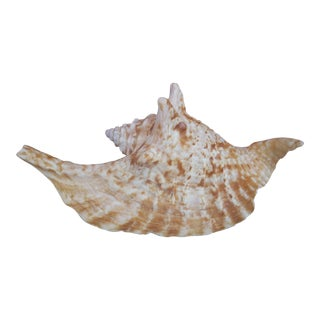 Natural Rooster Tail Conch Shell