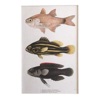 1905 Vintage Hawaiian Fish Lithograph