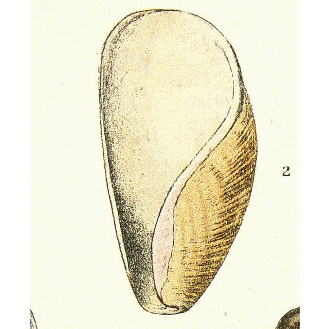 Image of Vintage Lithograph of Seashells, 1913