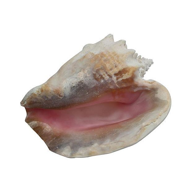 Image of Queen Conch Shell