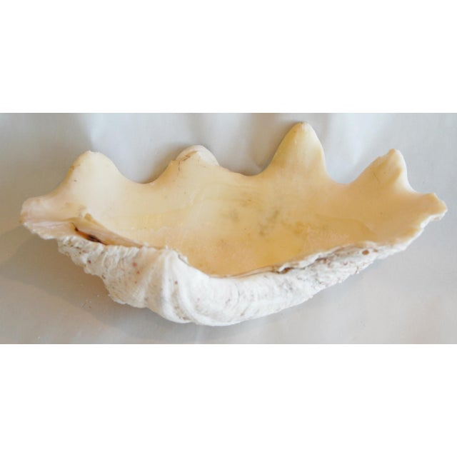 Image of Antique Nautical Seashell Clamshell