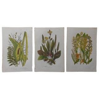Antique Botanical Lithographs - Set of 3