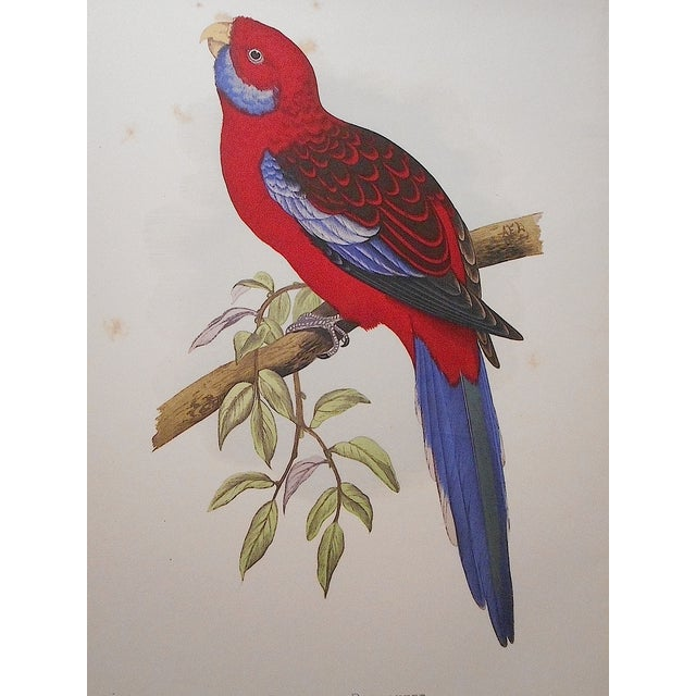 Antique Parakeet Lithograph - Image 3 of 4