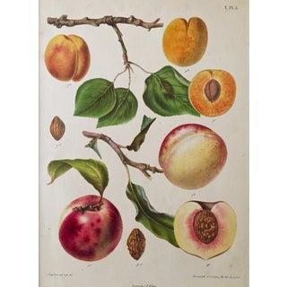 Antique Dutch Peaches Lithograph